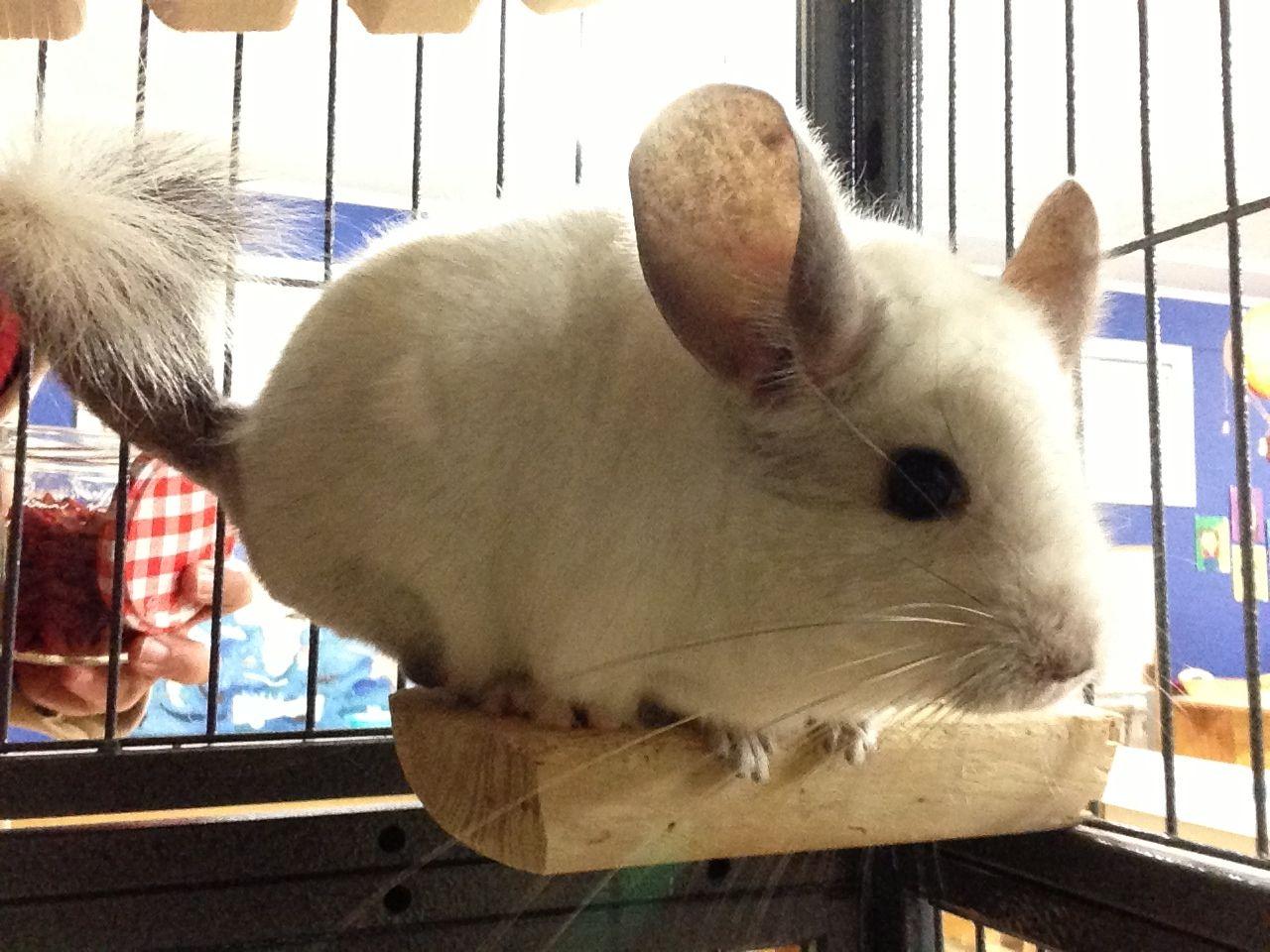 Chinchilla Livin On The Edge Pets Chinchilla Animals