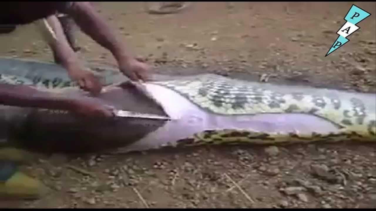 INCREIBLE abren una anaconda gigante y mira lo que encuentran ...