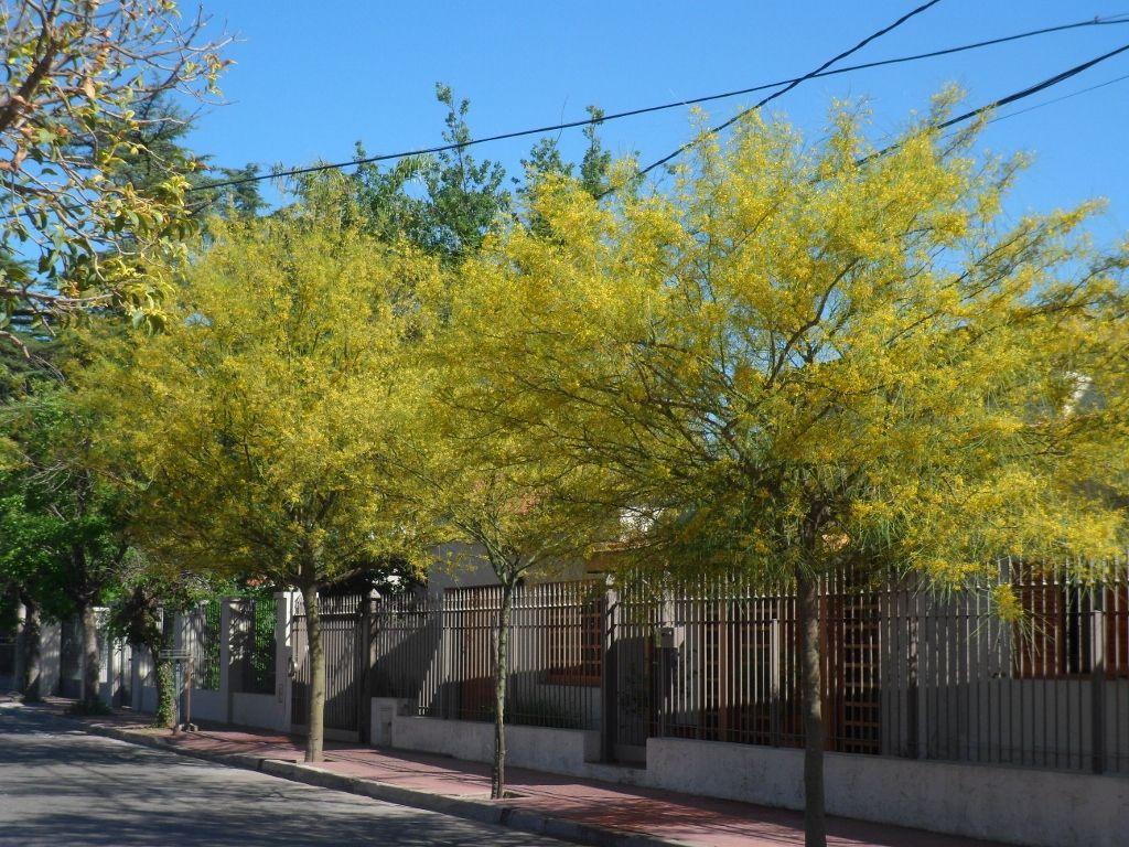 Aromito en flor cina cina arboles aut ctonos for Arboles perennes en argentina