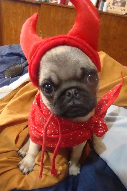 Halloween Pug Puppy Halloween Costumes Pugs Puppy Costume