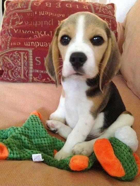 Uh That Face Who Couldn T Fall In Love Cute Beagles Cute