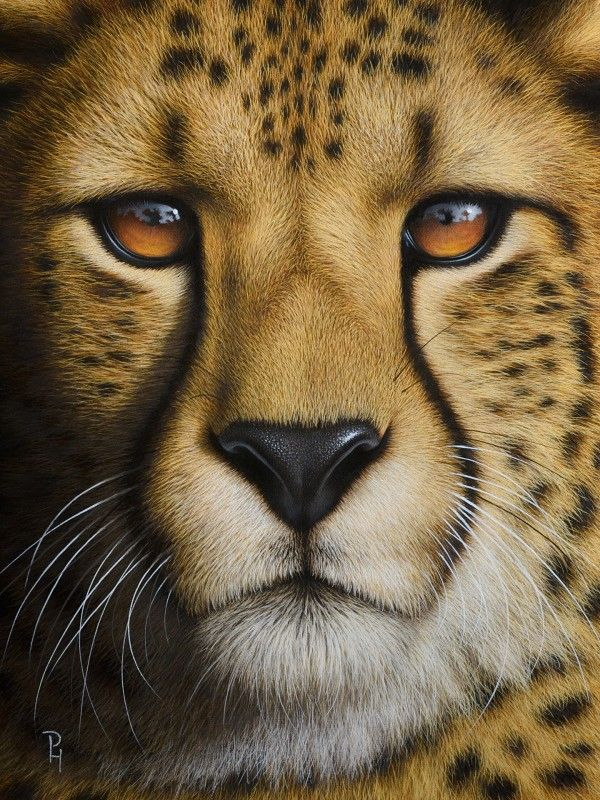 Portrait Of A Cheetah By Peter H 246 Hsl Oil On Canvas