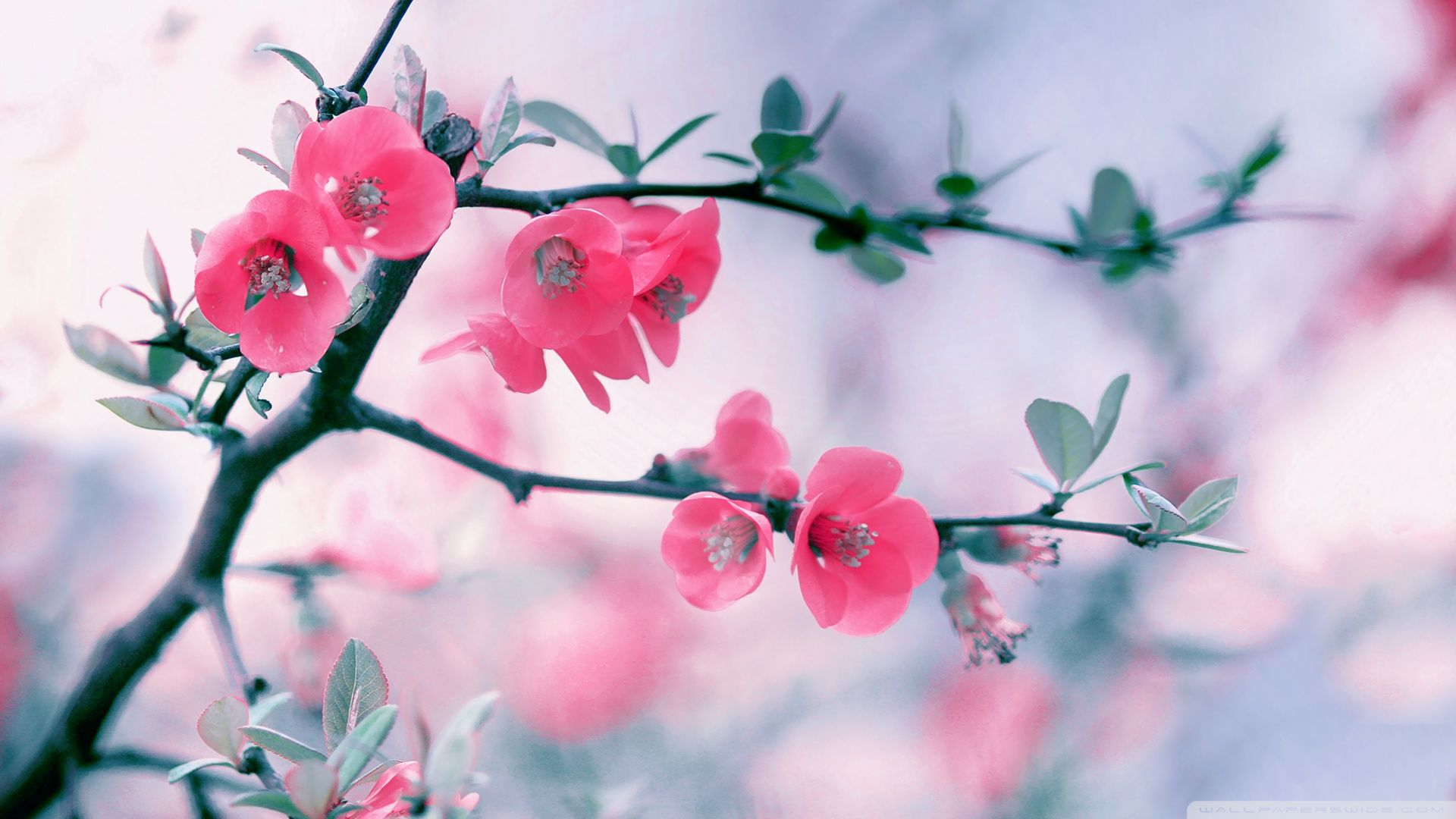 Download Pink Flower, spring, blossom, flowers, 1920x1080 ...