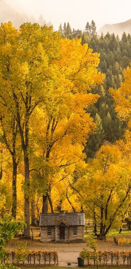 Golden trees in autumn,  Arrowtown, South Island, NZ