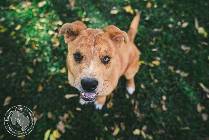 Australian Shepherd Rottweiler Mix | animals and insects ...Australian Shepherd Rottweiler Mix Information