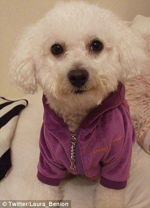 The Bichon Frise Is A Tiny Dog Breed That Doesn T Shed Making Them A Perfect Low Maintenance And Friendly Pet Weighing In Be Tiny Dog Breeds Man And Dog Dogs