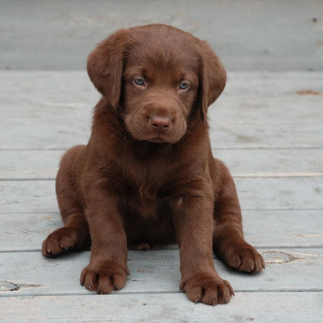 Labrador Puppies For Sale By Registered Labrador Breeder Labrador Breeders Labrador Labrador Puppy