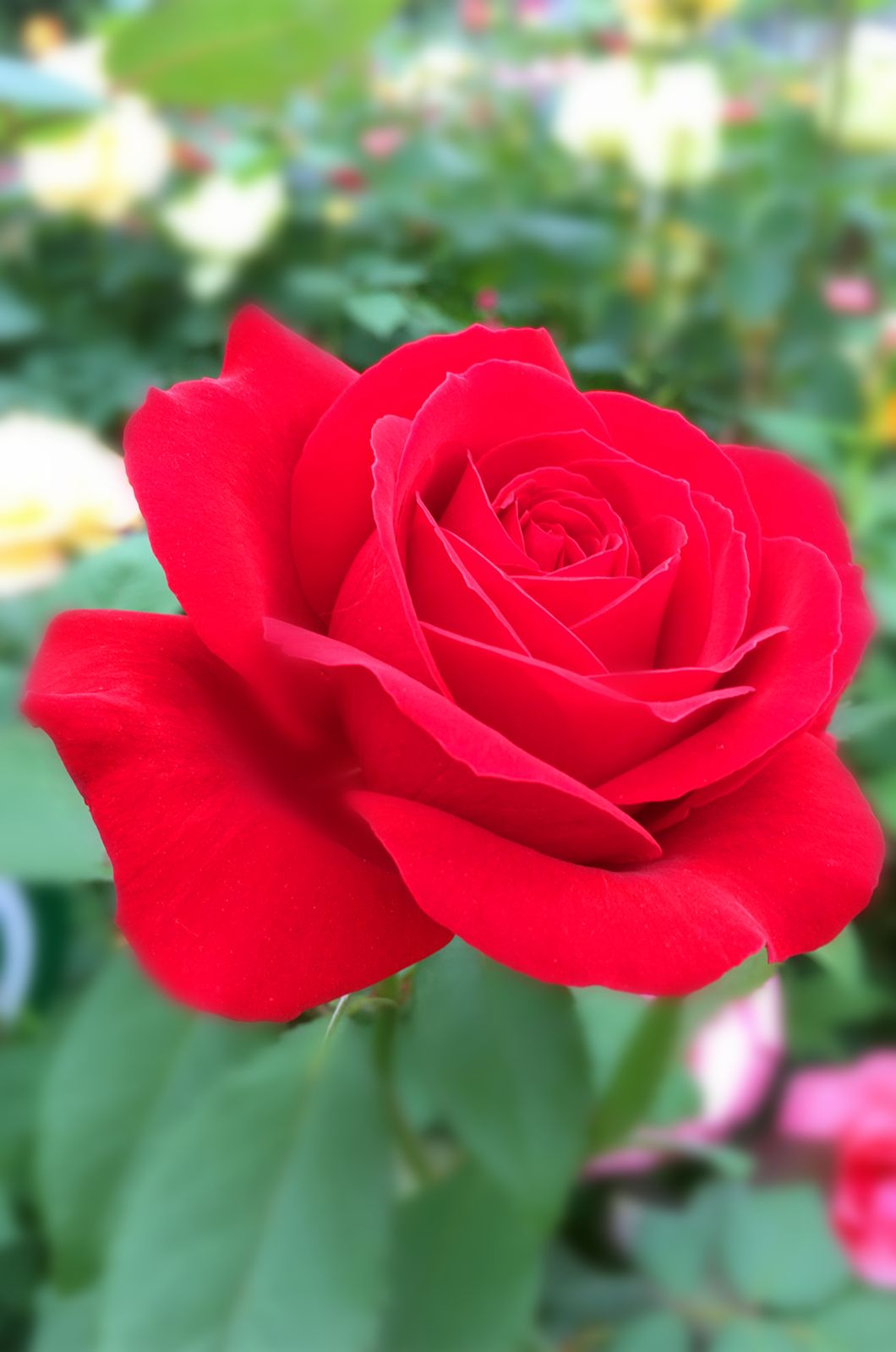 Red rose in full bloom, I love this. Red roses