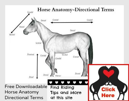 Contemporary Horse Anatomy Worksheet Ideas - Image of internal
