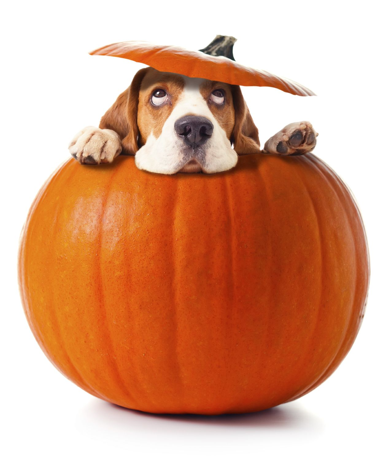 Pictures Of Canned Pumpkin For Dogs