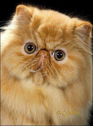 Cfa Persian Breed Council Tabby Division Winners 2013 2014 Cute Animals Beautiful Cats