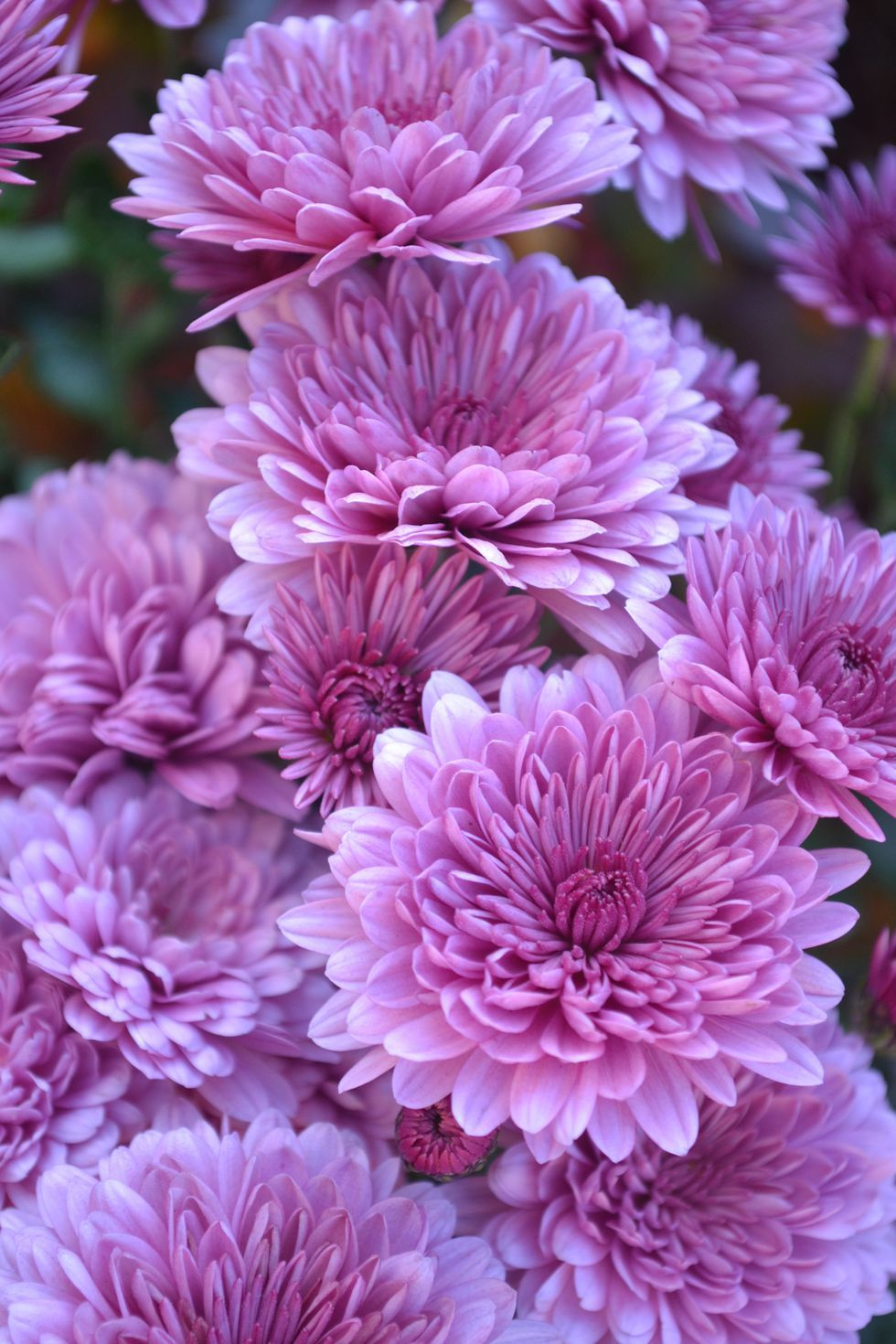 The Surprising Meanings Behind Your Favorite Flowers Flower Meanings Chrysanthemum Flower Flowers