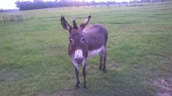 Jeannie Donkey For Sale San Diego California Diego San Diego San Diego California