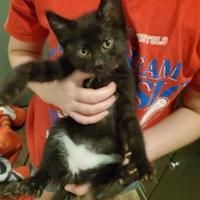 Morton Grove, IL - Domestic Longhair. Meet Rhino a Pet for Adoption. #mortongrove Morton Grove, IL - Domestic Longhair. Meet Rhino a Pet for Adoption. #mortongrove