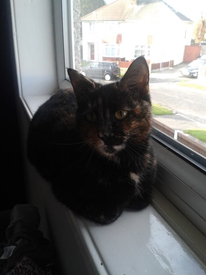 Pregnant cat found in Wirral, Liverpool Pregnant cat
