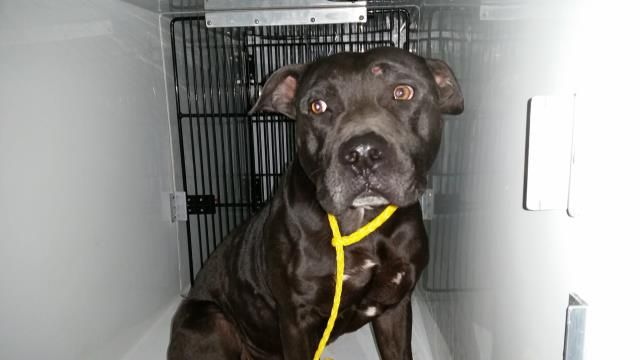 Super Urgent 03 06 17 Houston Tx Handsome Pittie Boy Needs A Hero Id A478667 I Am A Male Black And Whit American Pitbull Terrier Dogs Pitbull Terrier