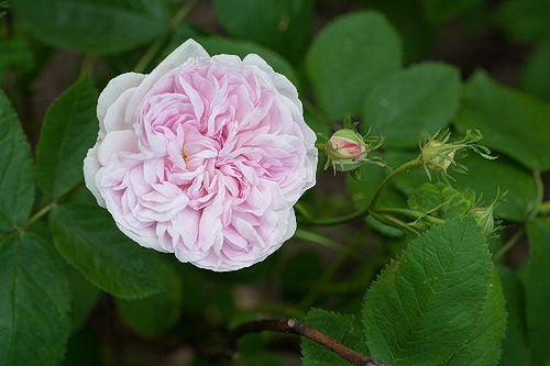 'Valence Dubois'  Centifolia rose Fontaine, France 1880