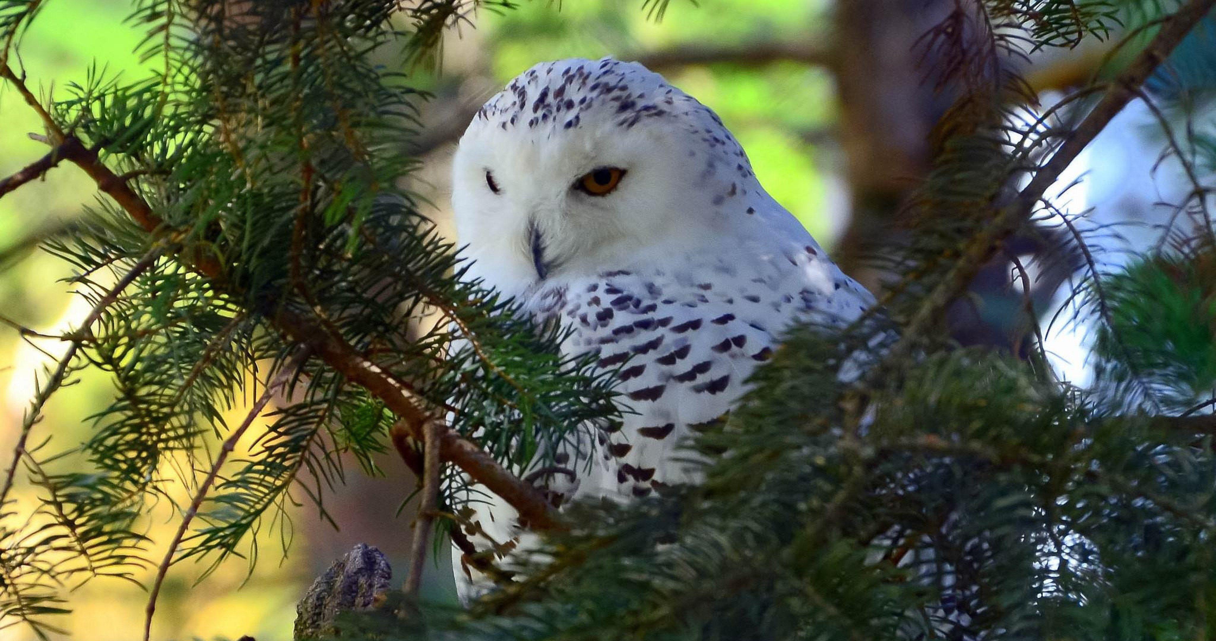 Polar Owl 4k Ultra Hd Wallpaper In 2019 Birds Wallpaper