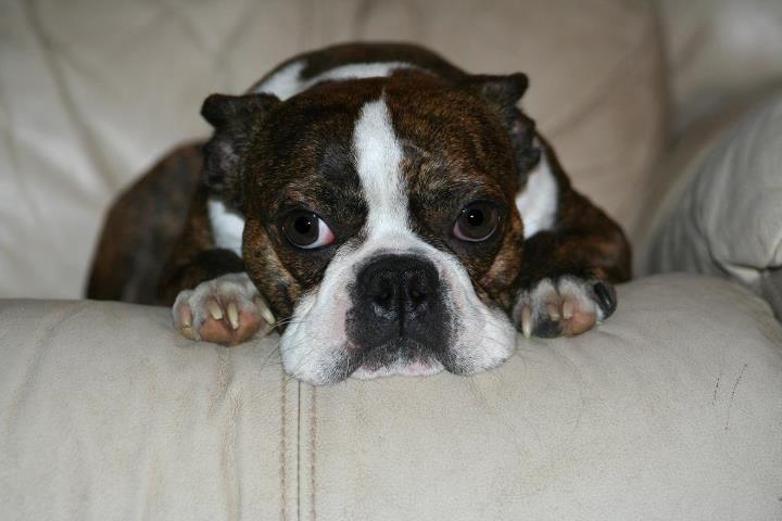 brindle Boston Terrier , boochi