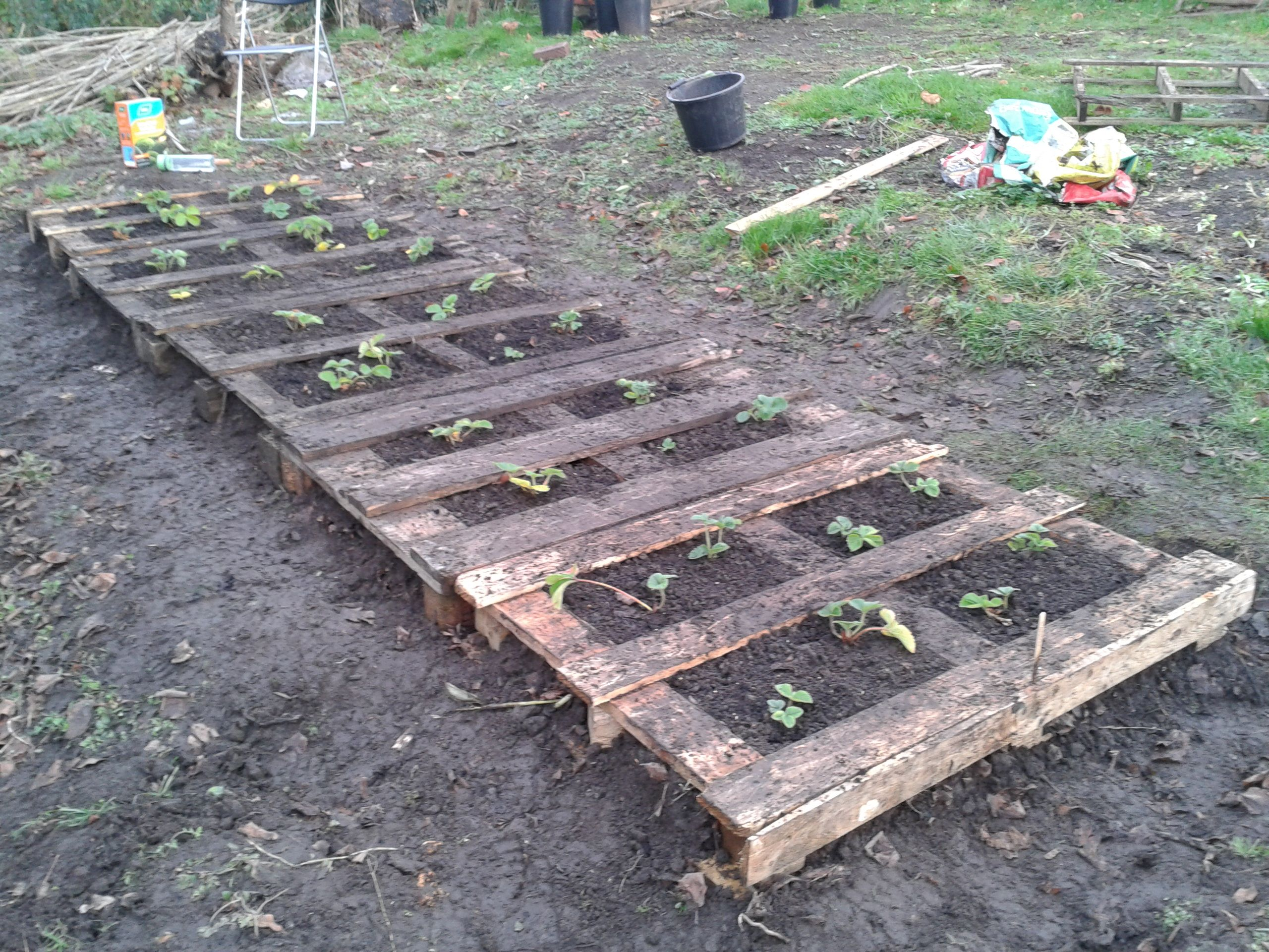 Raised bed made with pallets. Young strawberry plants just