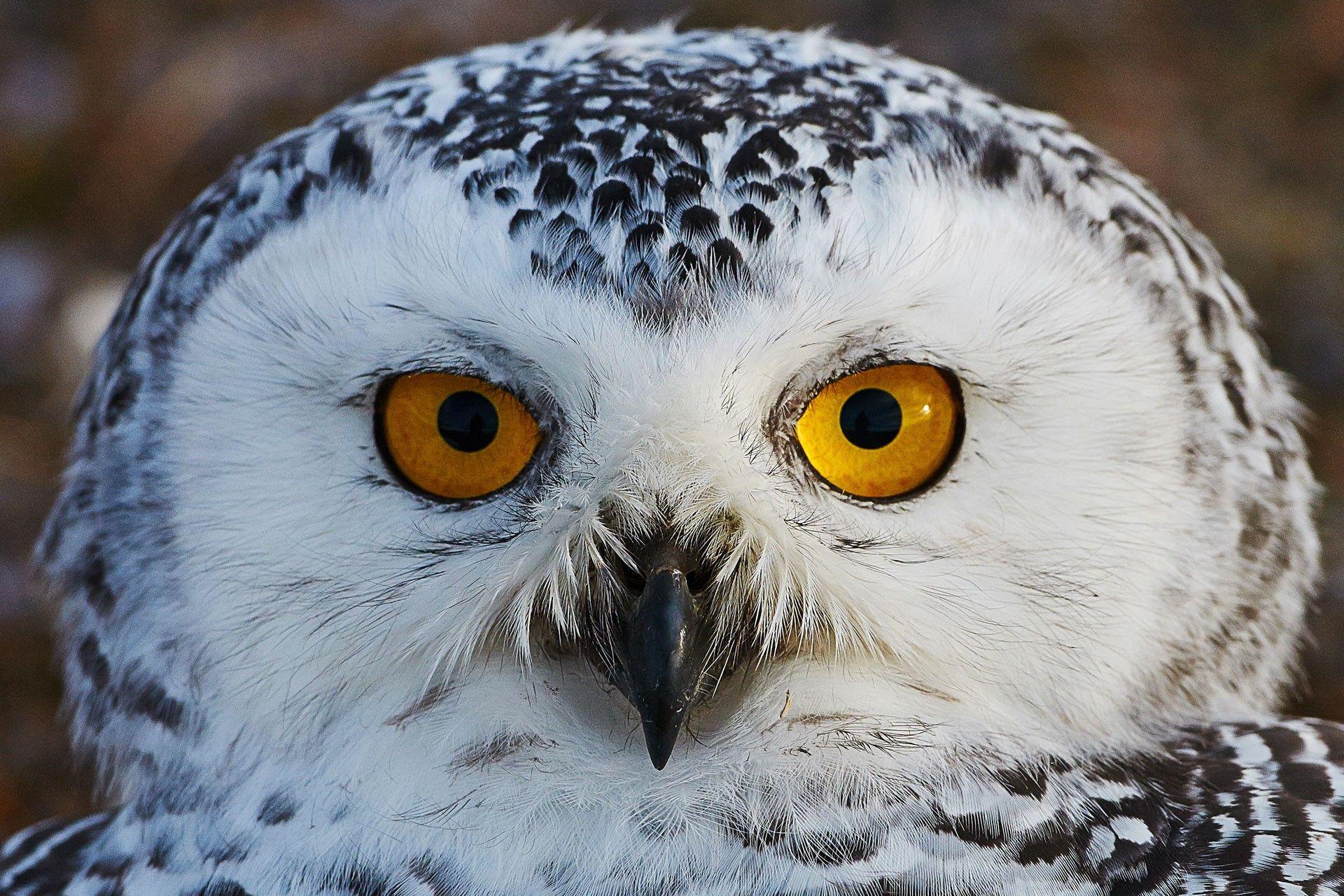 Картинки по запросу белая сова фото | Картинки с совой ...