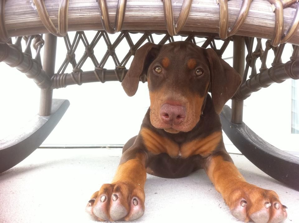 Amanda Green Loki at 13 weeks hiding under a rocking chair on the back porch #dobermanpinscher #doberman #puppy