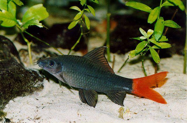 Red Tail Shark Epalzeorhynchos Labeo Bicolo Ornamental Fish Fish Aquarium Fish Fish Tank