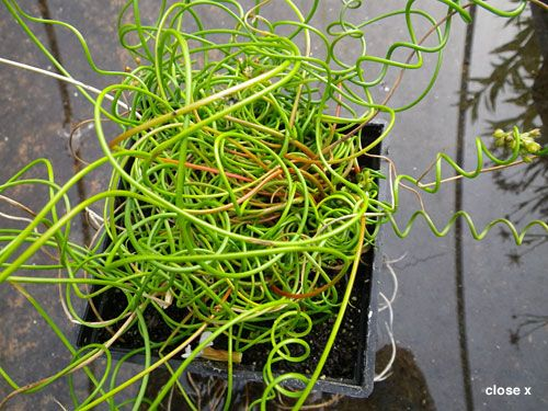 Pond plants for sale marginal plants buy marginals in for Garden pond plants uk