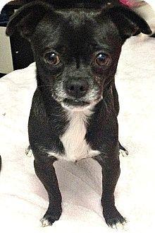 Adopted Boulder Co Pug Chihuahua Mix Meet Leo A Dog Adopted