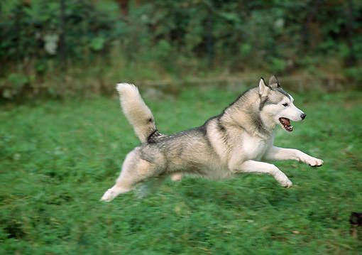 Siberian Husky Outgoing And Cheeky With Images Siberian