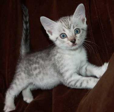 Cute Egyptian Mau Kittens Mascotas Gatos