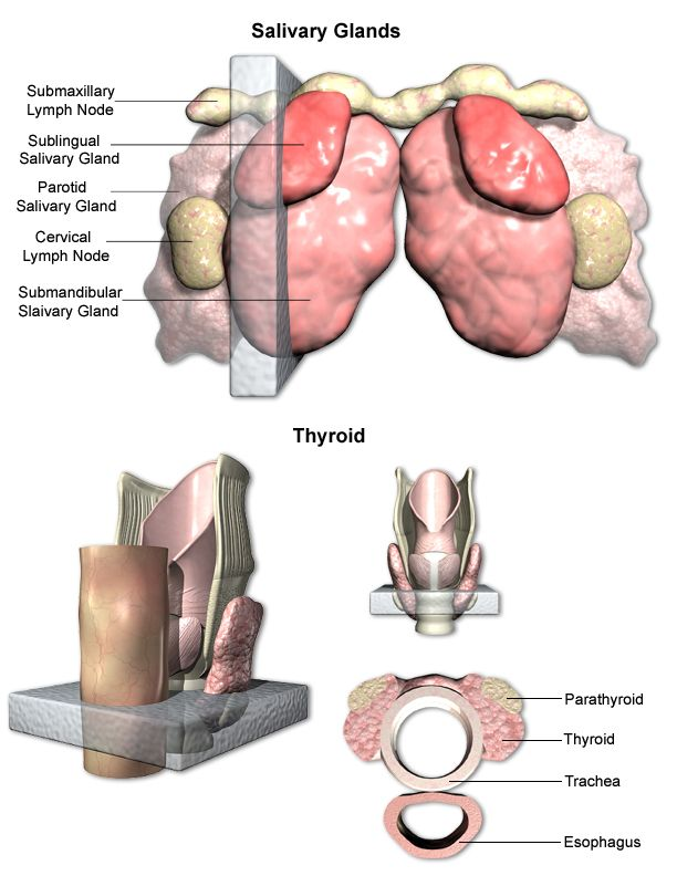 Labeled Thyroid Gland Examples