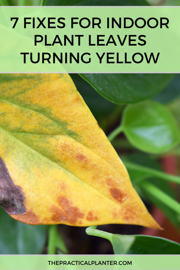 Indoor Plant Leaves Turning Yellow Fixes For 7 Common Causes Plant Leaves Turning Yellow Plant Leaves Turning Plant Leaves