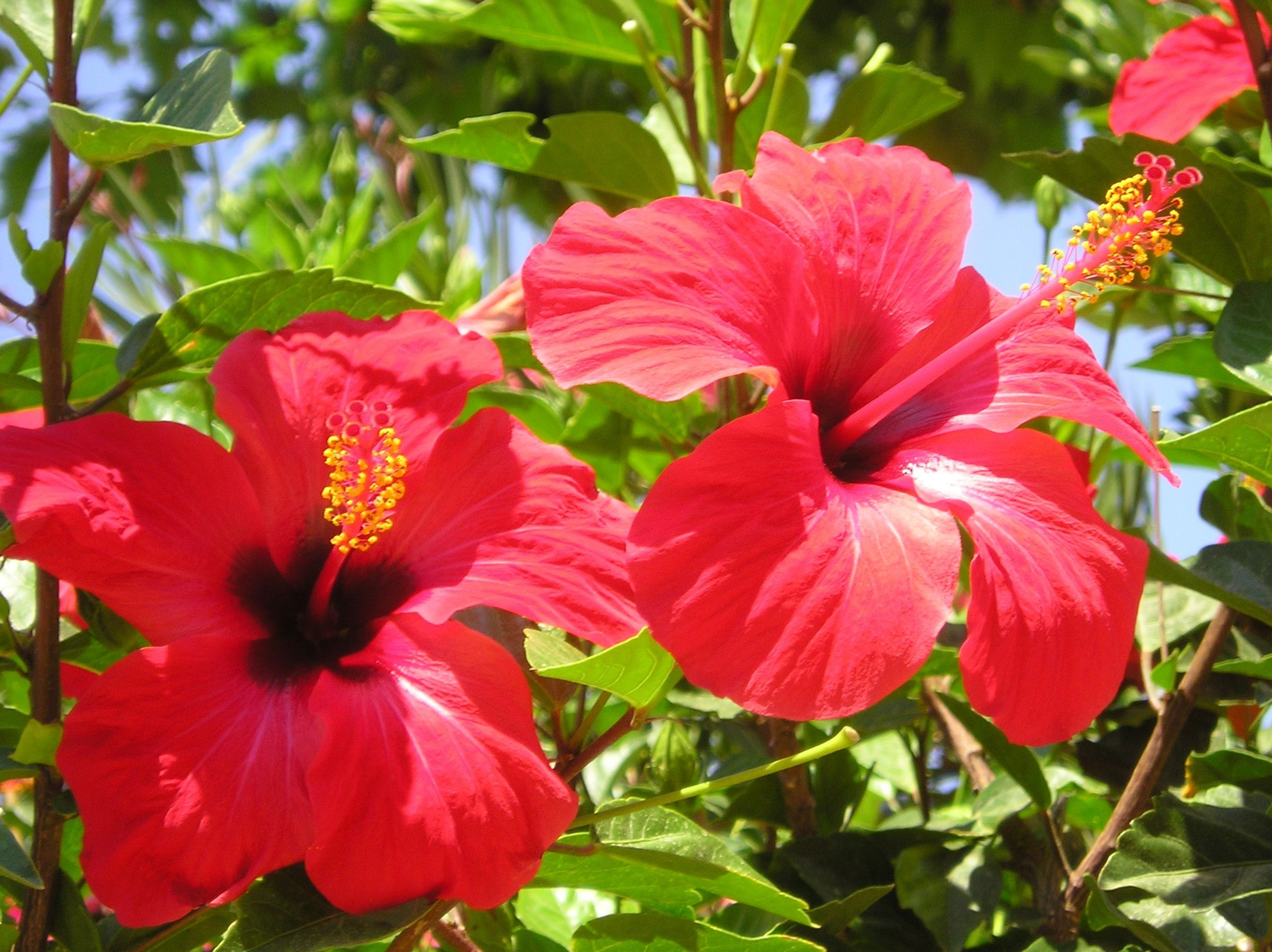 L\'hibiscus est un arbuste à fleurs originaire d\'Asie issu de la ...