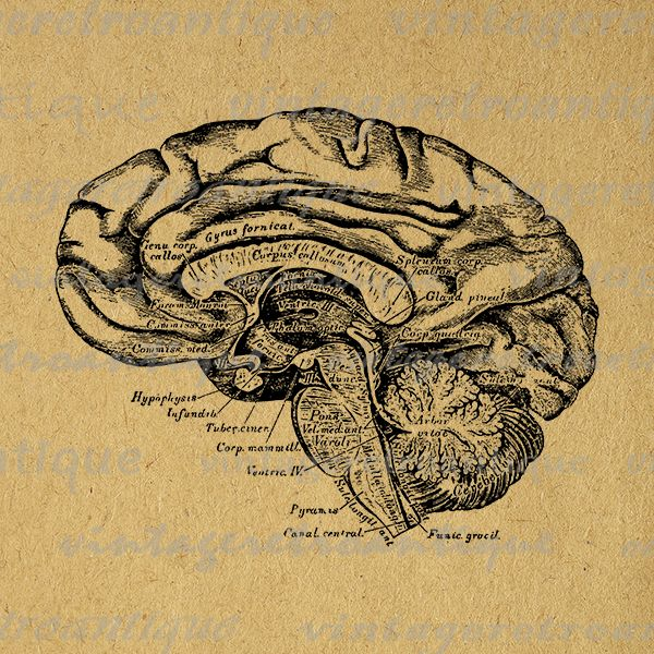 Printable image brain cross section digital medical diagram graphic ...