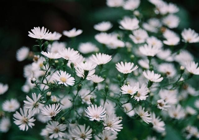 White Aster Flowers For Pool Planters We Will Find Where To Buy I Think These Are The Little White Ones With Aster Flower Light Pink Flowers Flower Pictures