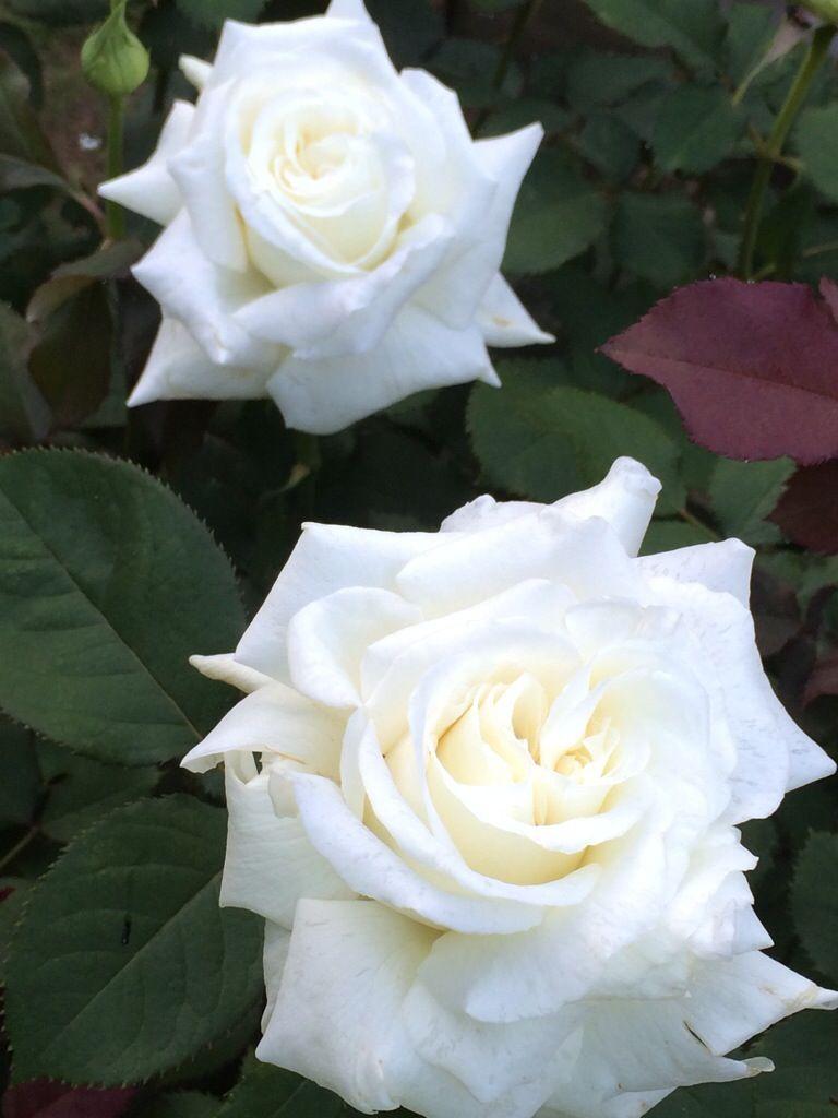 Friday Flowers Hybrid Teas Roses Flowers White