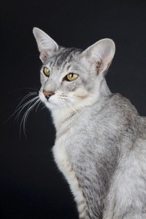 Black Silver Ticked Tabby Silver Tabby Cat Cat Breeds Tabby