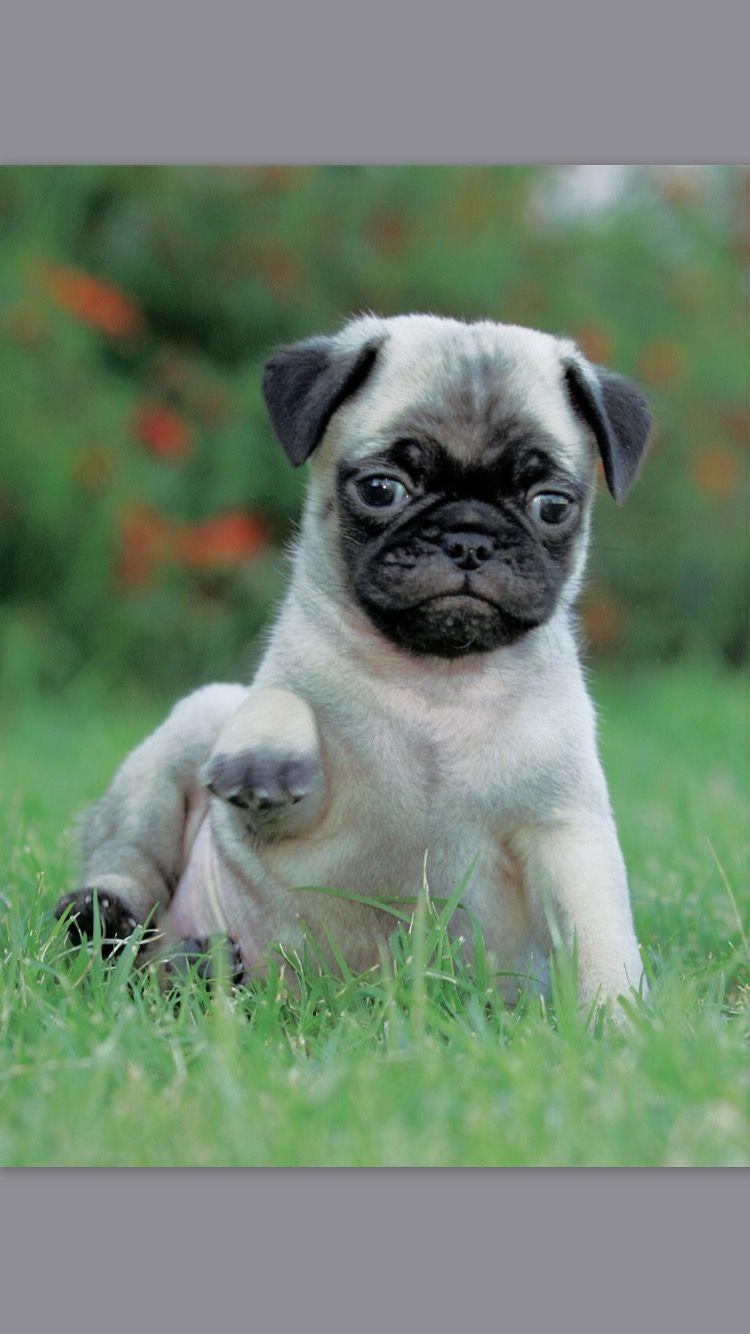Pug Pugs Pets Dogs