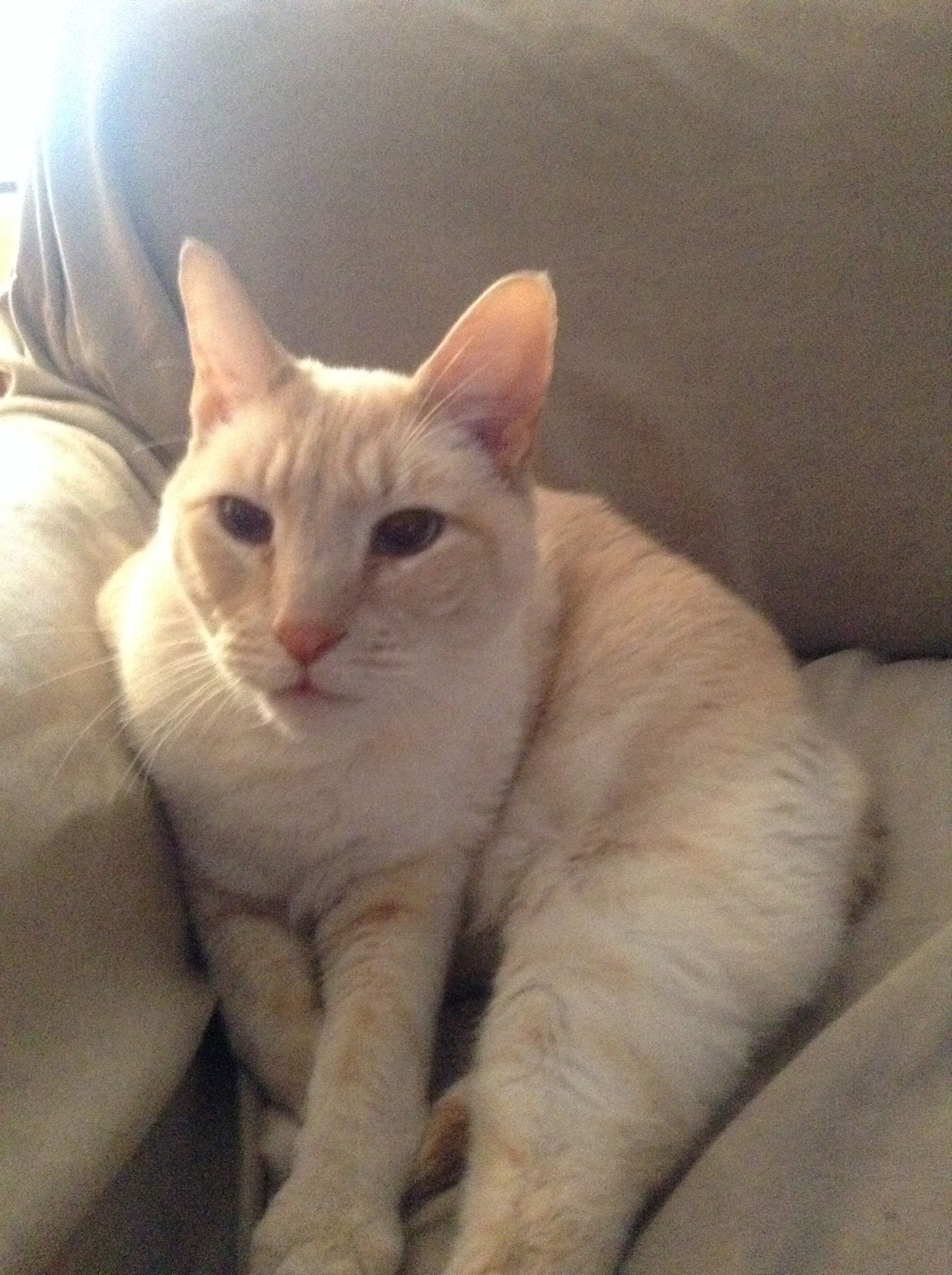 My Flame Point Siamese cat, Romeo! Siamese cats