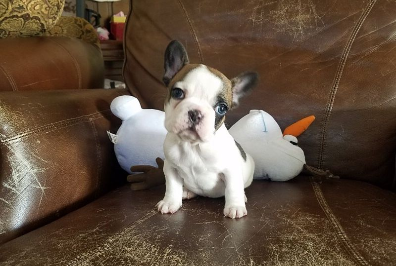 French Bulldog Puppy For Sale In Los Angeles Ca Adn 67559 On