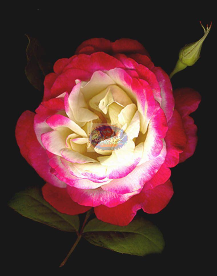 фото символа англии алой розы бесплатно широкоформатные обои