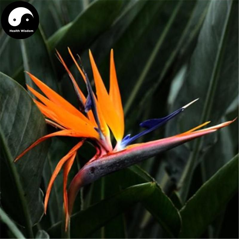 Buy Bird Of Paradise Flower Seeds 30pcs Plant Strelitzia Reginae Aiton For He Wang Lan In 2020 Flower Seeds Birds Of Paradise Flower Buy Birds