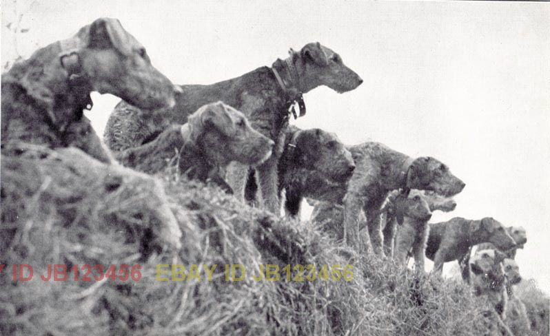 Dog Airedale Terrier War Dog With Gas Mask In Trenches Wwi C 1916 Antique Prin War Dogs Airedale Terrier Terrier