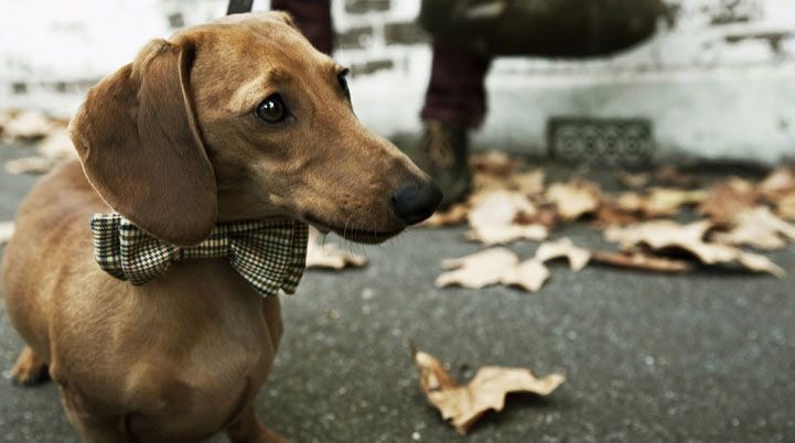 My Most Favourite Creature Looking Nothing Short Of Fabulous Dapper Dogs Weenie Dogs Dog Bows
