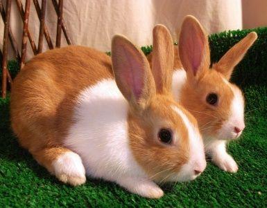 Photos Of Baby Dutch Bunnies Google Search Dutch Rabbit Beautiful Rabbit Rabbit