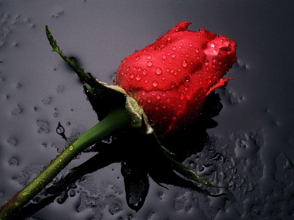 Rose Flower Hd Wallpaper Beautiful Red Roses Single Red Rose Black Rose