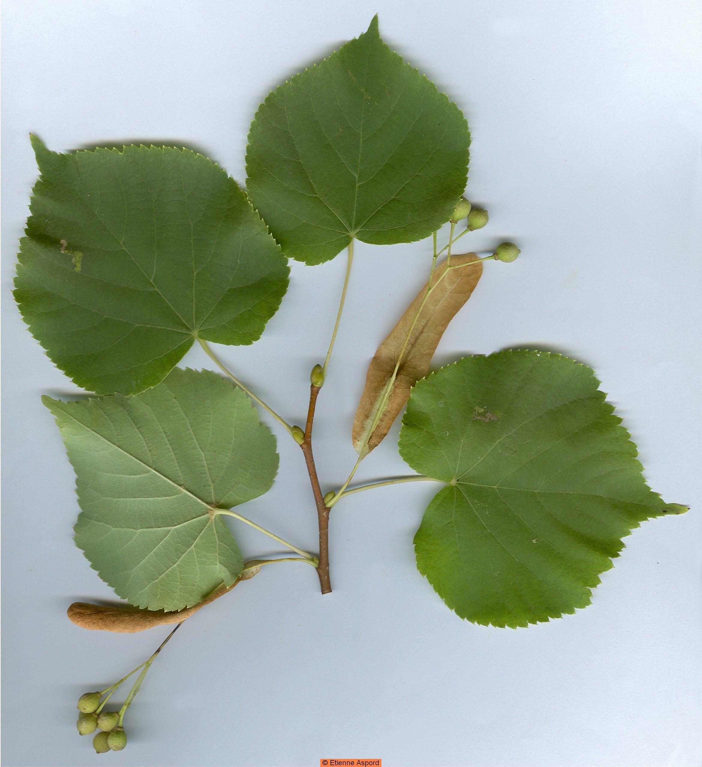 Tilia Cordata Melvaceae Little Leaf Linden Botany