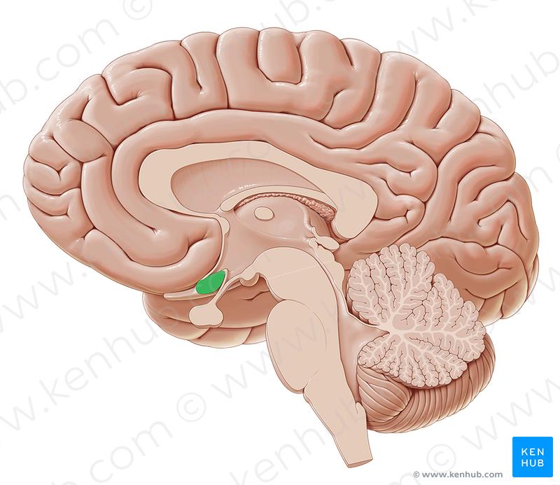 Optic chiasm (Chiasma opticum); Image: Paul Kim | Brain.Medial view ...
