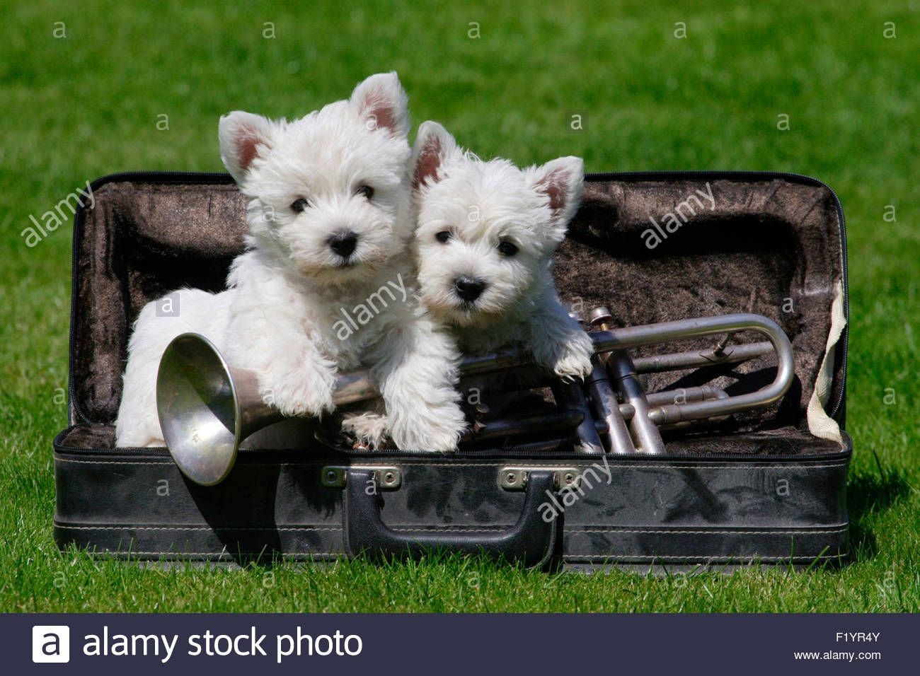 West Highland Terrier Westie Two Puppies An Instrument Case Lawn Stock Photo Royalty Free Image 87277371 Cutest Dog Ever Cute Animals West Highland Terrier